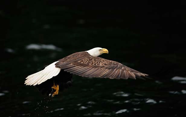 bald eagle soaring through the Alaskan sky