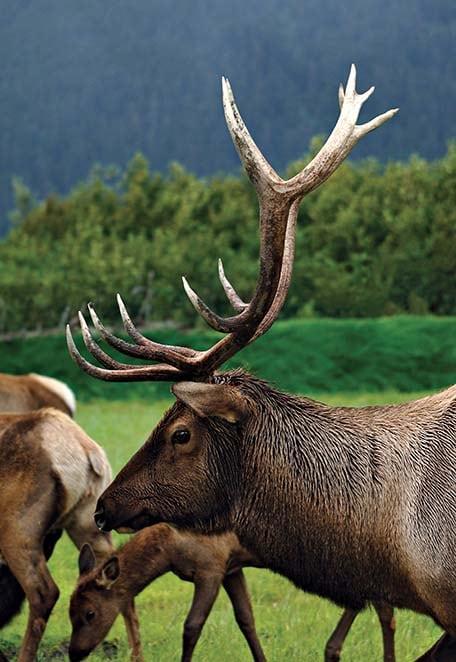 black deer in the alaska wilderness