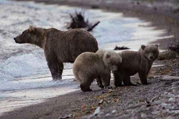 black bears along the water in Alaska