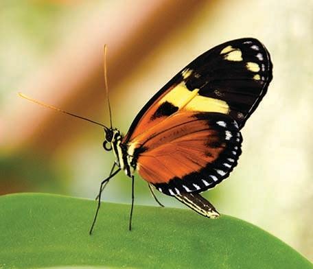 butterfly in st marteen