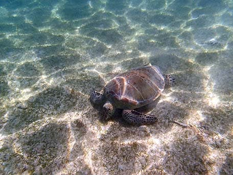 turtle in cozumel