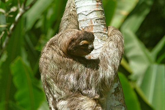 sloth climbing tree in aviaries del caribe sloth sanctuary