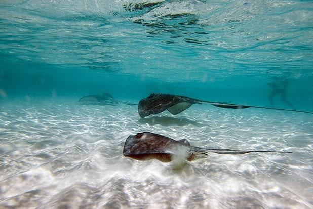 stingrays swimming in stingray city sandbar grand cayman