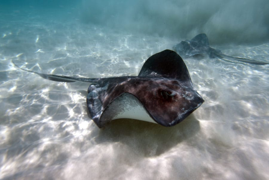 two stingrays swimming in the famed stingray village of antigua