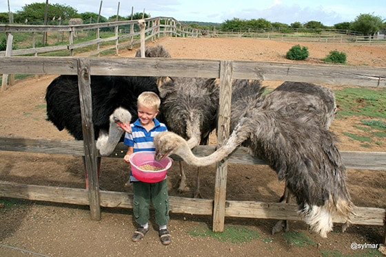 boy feeding 3 ostriches at an ostrich farm