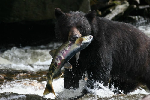 alaskan black bear holding on to a fish with its mouth as it hunts by the river