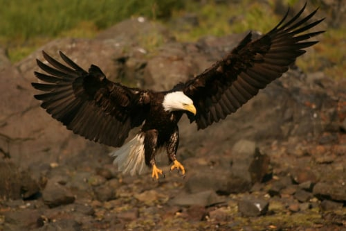 bald eagle gliding down with open wings to catch its prey