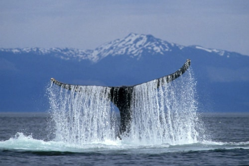 humpback whale sticking its tail out of the water during an alaska tour
