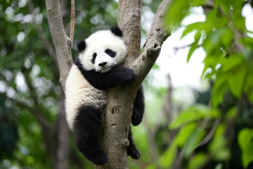 baby panda climbing a tree in the local zoo in san diego