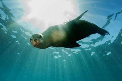sea lion swimming in the waters of puerto vallarata