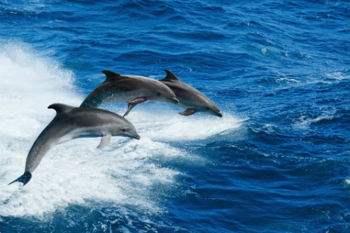 3 wild dolphins jumping out of the ocean, off the coast of catalina island