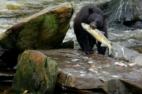 alaskan black bear biting a salmon that was caught from the water