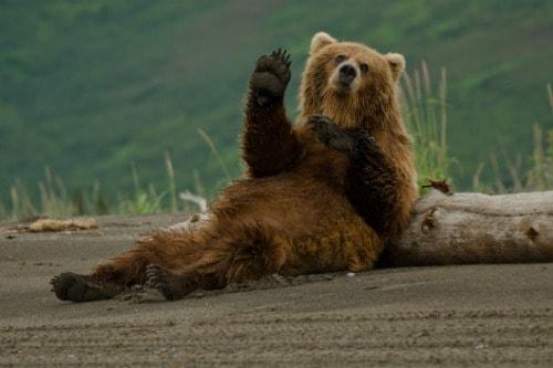 alaskan brown bear waving as he lays on a fallen log