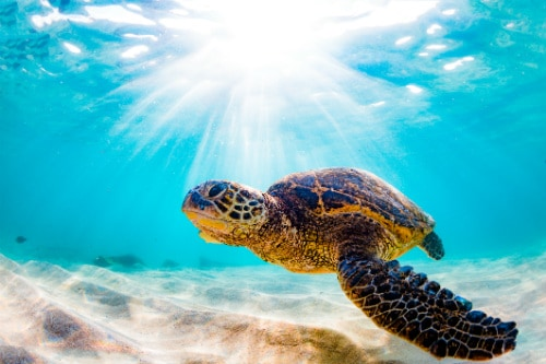 green sea turtle from hawaii swimming in the ocean