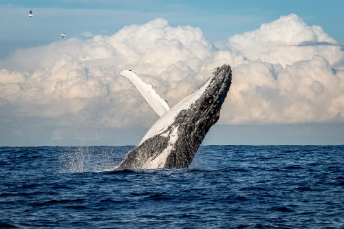 humpback whale jumping out of the water in the pacific ocean near maui