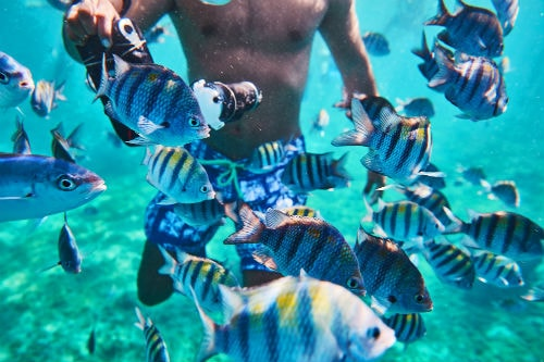 man taking under water photos of blue striped fishes swimming in the caribbean