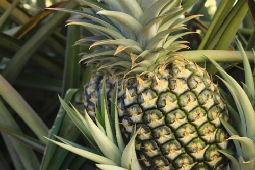 large pineapple growing in a pineapple farm in maui hawaii