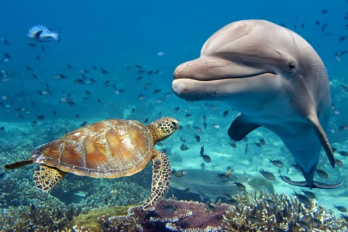 wild dolphin approaching a sea turtle in the pacific ocean, near kona hawaii