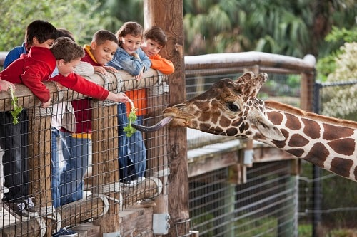 children feeding a giraffe at the local zoo in tampa