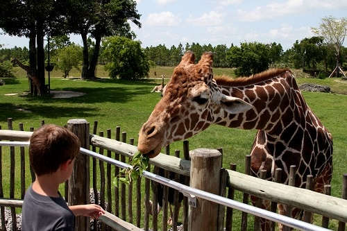 little boy feeding giraffe in the local zoo in norfolk