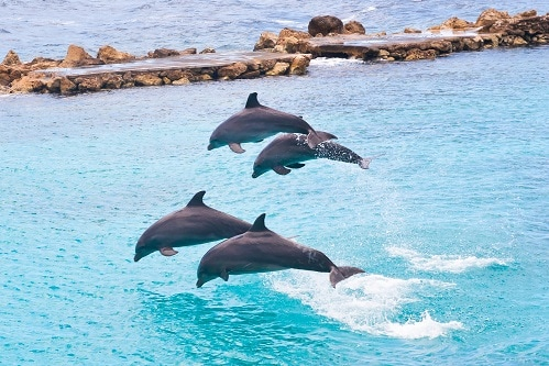 4 dolphins jumping out of the water in the private lagoon of dolpin cove in the western caribbean port of ocho rios
