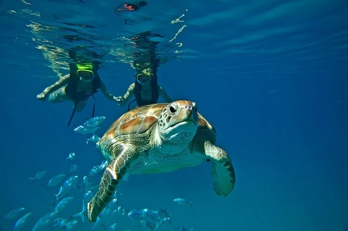 a couple snorkeling with a turtle in sight