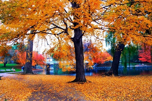 yellow leaves on the trees in boston