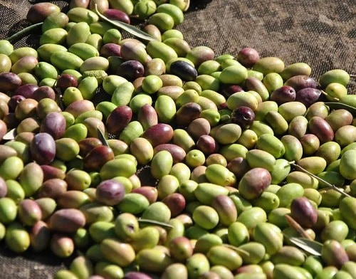 a batch of olives that is going to be harvested into oil