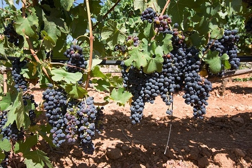 grapes ripening on a mallorca vineyard on a sunny day