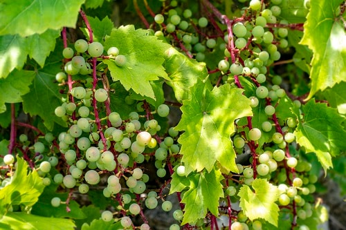 white wine grapes growing out of vines in croatia