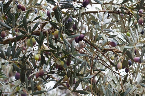 an olive branch from an olive grove in mallorca