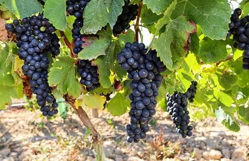 grapes hanging in the vineyards in ponta delgada