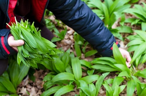 a farmer picking out wild garlic leaves