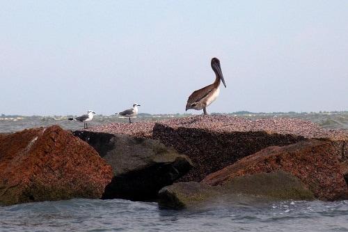birds along the rocks on a galveston beach